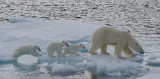 Polar Bear female with 3 first-year cubs