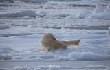 Polar Bear rolling on ice