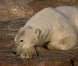 Polar Bear male stuck on land