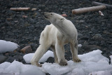 Polar Bear young female dying of hunger