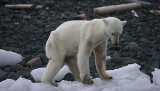 Polar Bear young female dying of hunger OZ9W0558