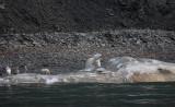 Polar Bear female on dead Sperm Whale OZ9W1219