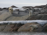 Polar Bear female with 2 large cubs on land
