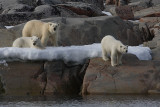 Polar Bear female with 2 large cubs OZ9W2299