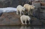 Polar Bear female with 2 large cubs A