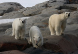 Polar Bear female with 2 large cubs OZ9W2334