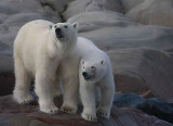 Polar Bear female with 1 of 2 large cubs OZ9W2361