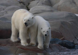 Polar Bear female with 1 of 2 large cubs OZ9W2362