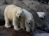 Polar Bear female with 1 of 2 large cubs OZ9W2373