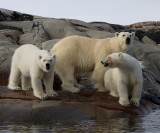 Polar Bear female with 2 large cubs B