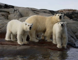 Polar Bear female with 2 large cubs OZ9W2380