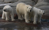 Polar Bear female with 2 large cubs OZ9W2385