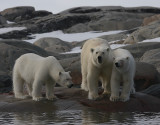 Polar Bear female with 2 large cubs OZ9W2390