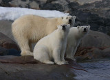 Polar Bear female with 2 large cubs C