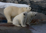 Polar Bear female with 2 large cubs OZ9W2399