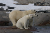 Polar Bear female with 2 large cubs OZ9W2401