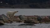 Polar Bear immature going in OZ9W5711
