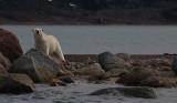 Polar Bear immature going in OZ9W5713