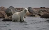 Polar Bear immature going in OZ9W5725a