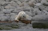 Polar Bear male eating seaweed OZ9W8867