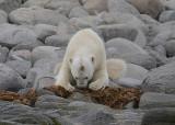Polar Bear male eating seaweed OZ9W8868