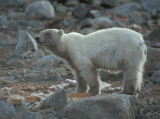 Polar Bear young hungry