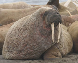 Walrus mostly males on land