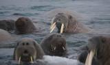 Walrus male with 3 tusks OZ9W0600