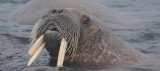 Walrus male with 3 tusks OZ9W0600a