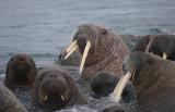 Walrus males in water