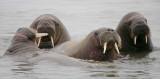 Walrus male group in water OZ9W3077