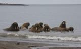 Walrus male group in water OZ9W3124