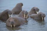 Walrus male group in water  Svalbard