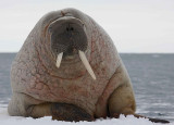 Walrus male on ice floe OZ9W8376