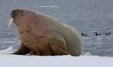 Walrus male on ice floe OZ9W8403