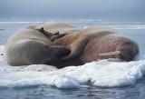 Walrus males on ice floe 1