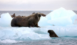 Walrus female with small pup OZ9W0457