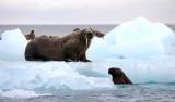 Walrus females on ice