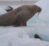 Walrus female with small pup OZ9W0467
