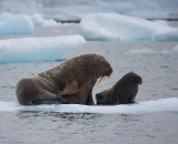 Walrus female with small pup OZ9W0653