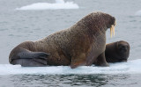 Walrus female with small pup OZ9W0665
