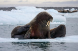Walrus female with small pup OZ9W0670