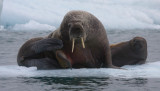 Walrus female with small pup OZ9W0675