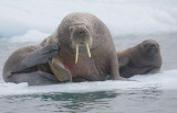 Walrus female with small pup OZ9W0676