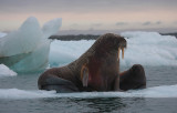 Walrus female with small pup OZ9W0677