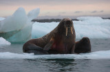 Walrus female with small pup Svalbard