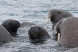 Walrus females and pups OZ9W0394