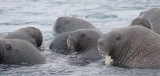 Walrus females and pups OZ9W0395