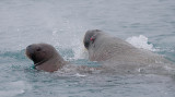 Walrus female and pup OZ9W0399
