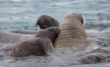 Walrus females and pups OZ9W0430
